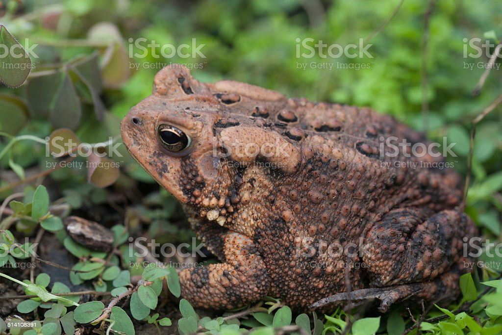 Close-up view of  Fowler's Toad / Anaxyrus fowleri stock photo