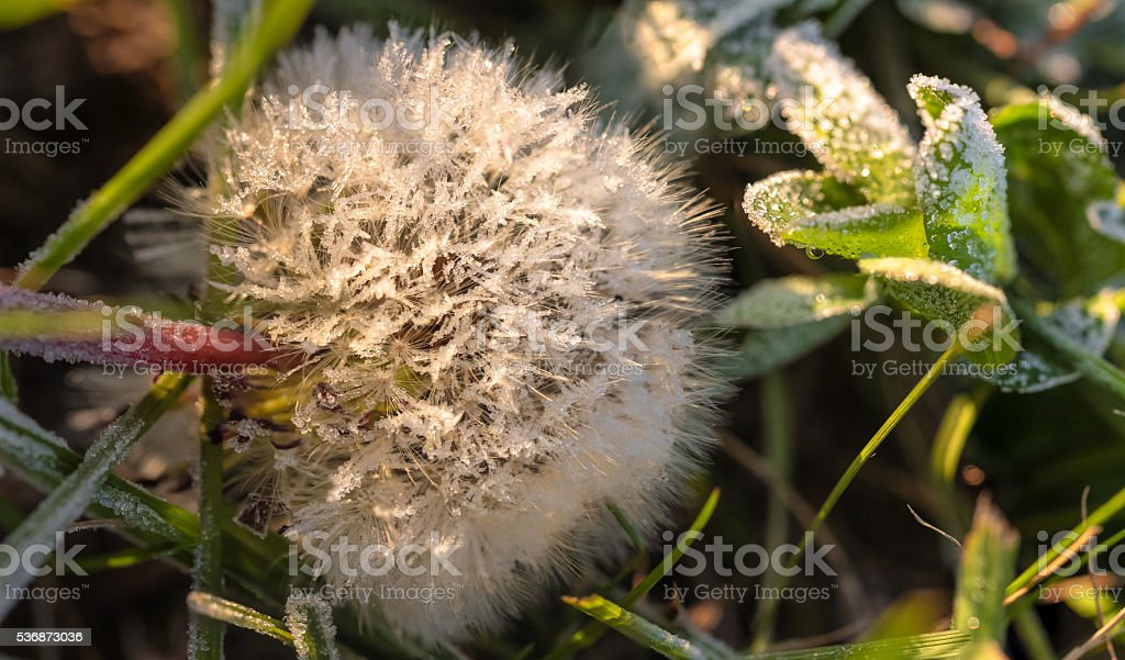 Closeup view of iced morning dandelion stock photo