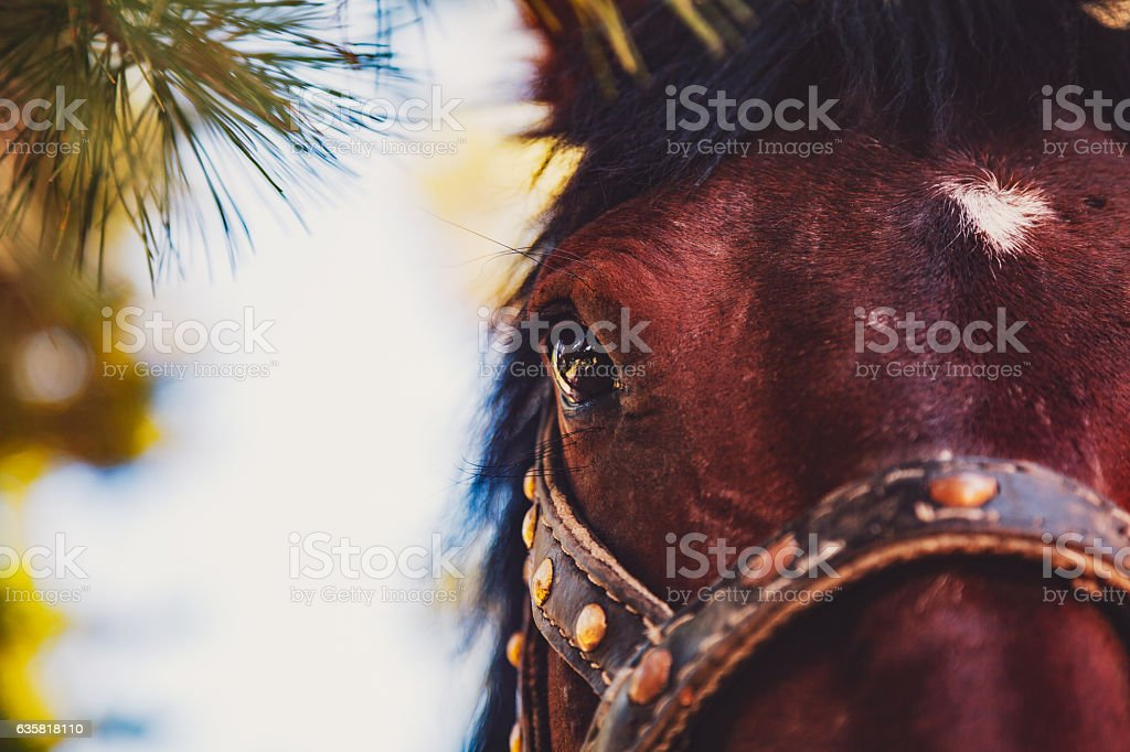 Close-up view of maroon horse head stock photo