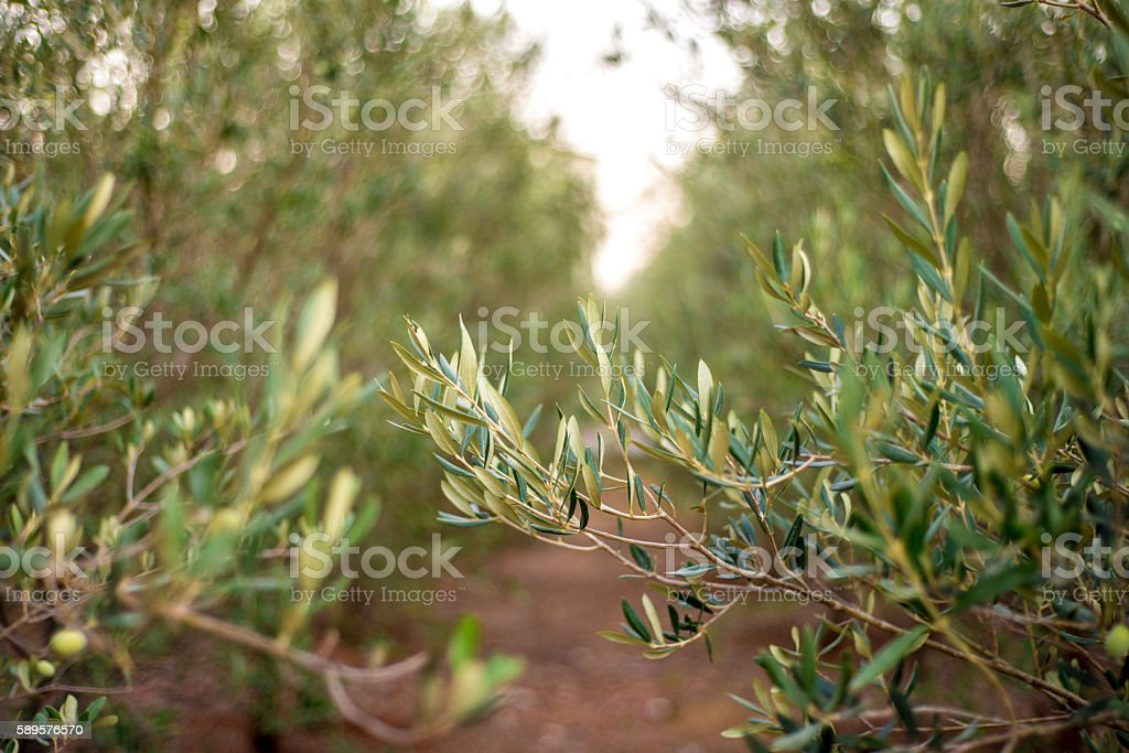 Close-up view of olive tree stock photo
