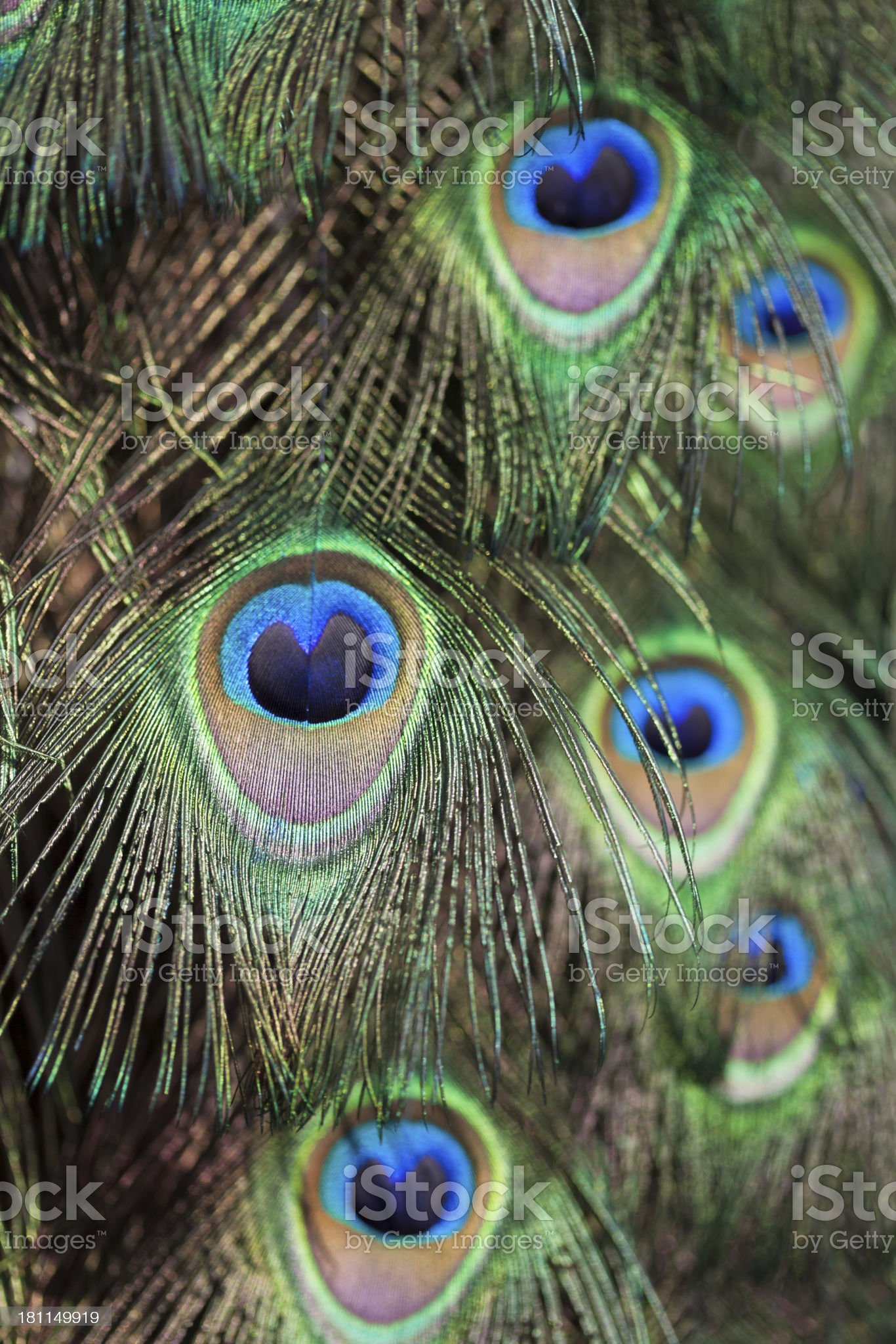 Closeup View Of Peacock Feathers royalty-free stock photo