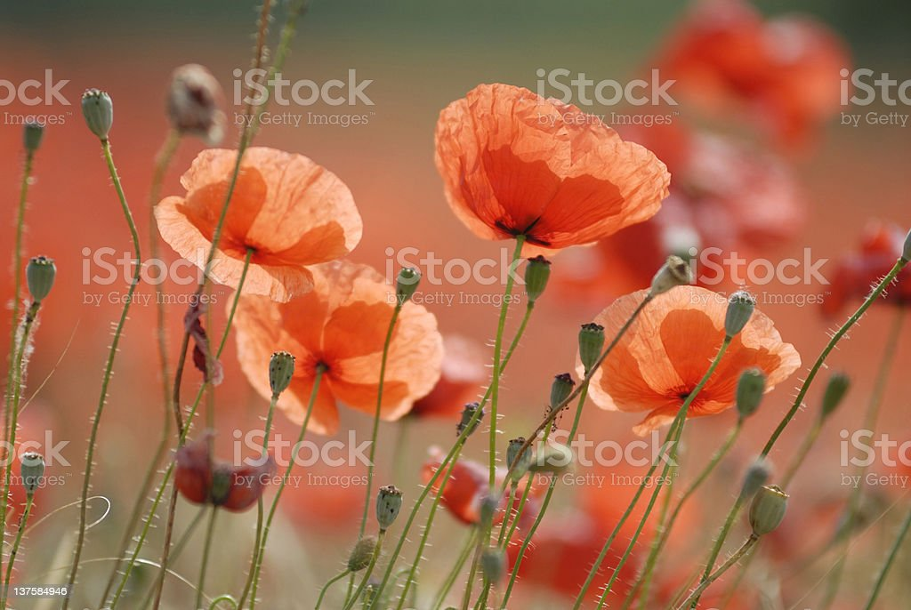 A closeup view of poppies blooming among green stems royalty-free stock photo