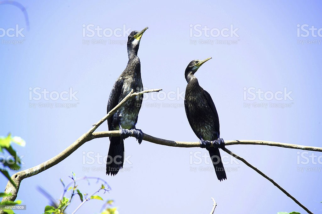 Closeup view  of reed cormorants on a tree branch stock photo