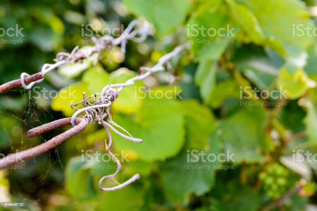 Close-up view of the iron wire supporting the vine plant stock photo
