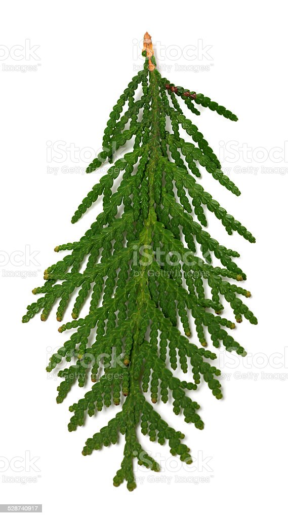 Close-up view of thuja branch stock photo