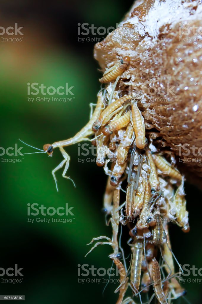 Closeup view of translucent praying mantis nymphs as they hatch stock photo
