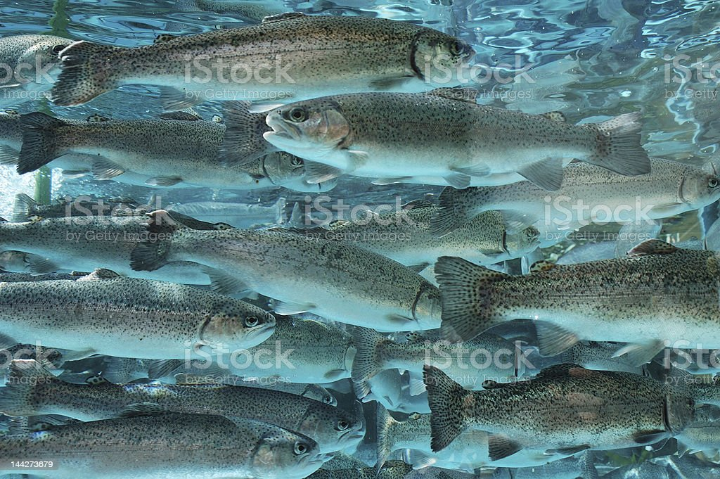 Close-up view of trout underwater stock photo
