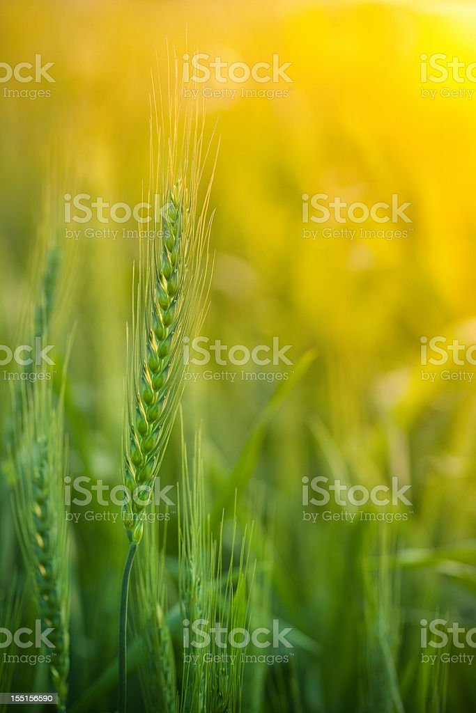 Close-up view of wheat field during sunrise stock photo