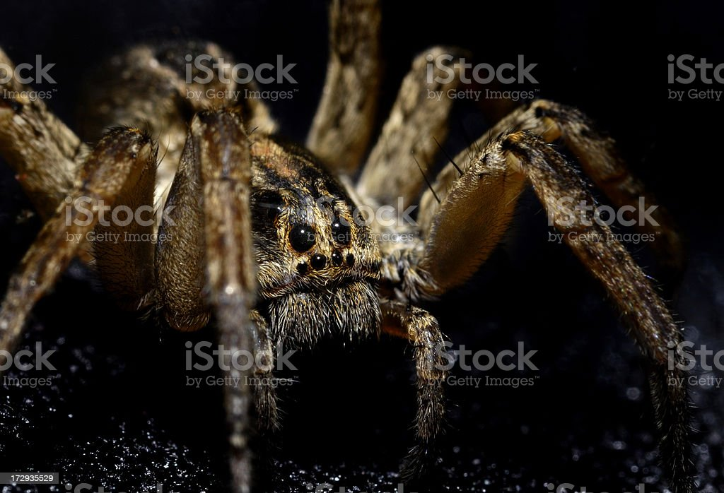 Close-up view of wolf spider isolated on black stock photo