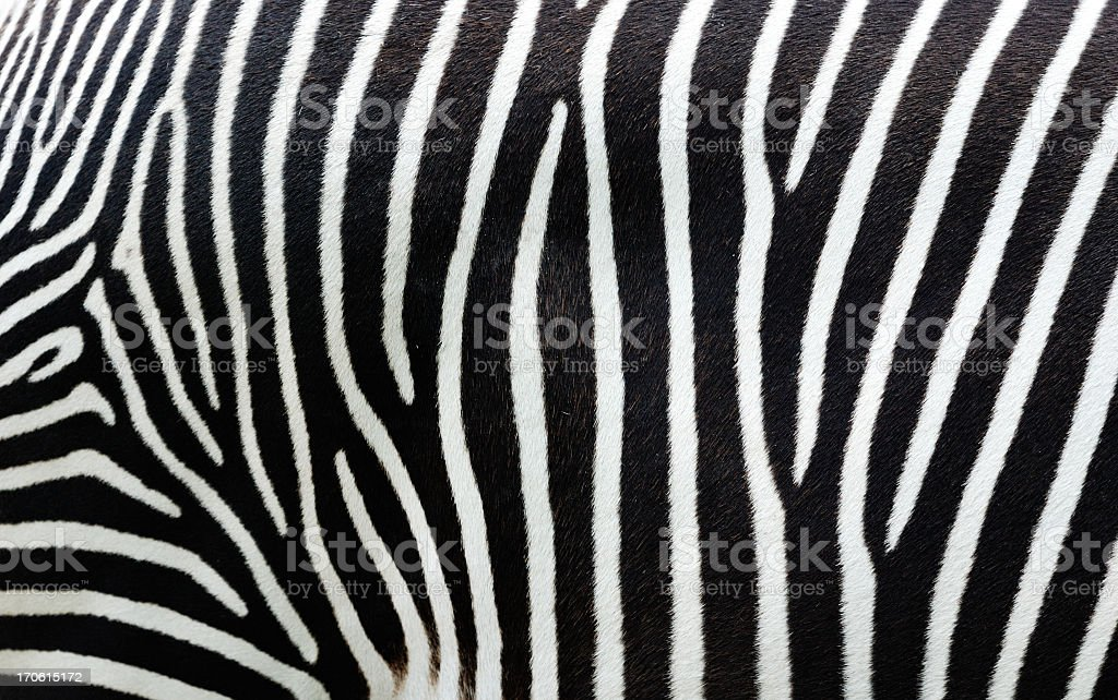 Close-up view of zebra stripes stock photo