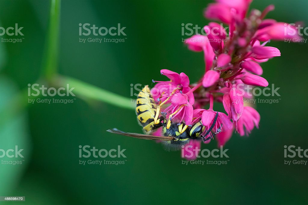 Close-up Wasp on Pink Knotweed stock photo