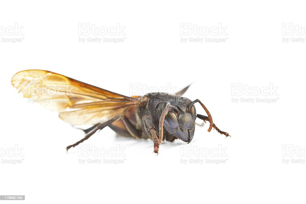 Closeup wasps are aggressive insects stock photo