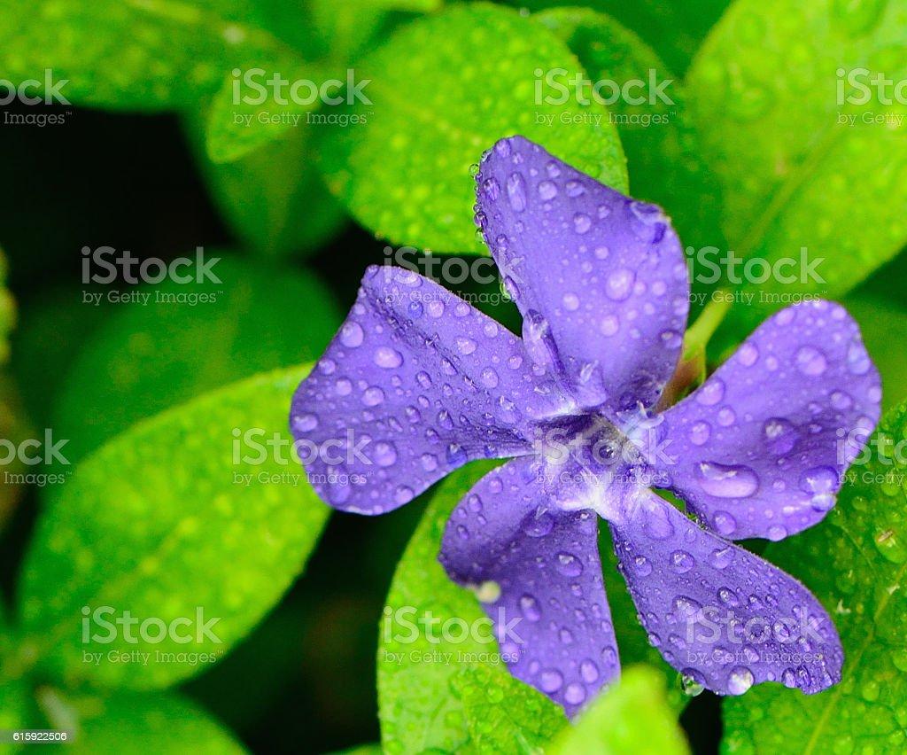 Closeup Wet Purple Flower in Green Leaves stock photo