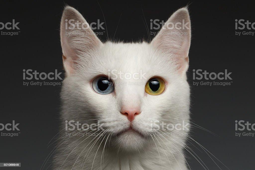 Closeup White cat with  heterochromia eyes on gray stock photo