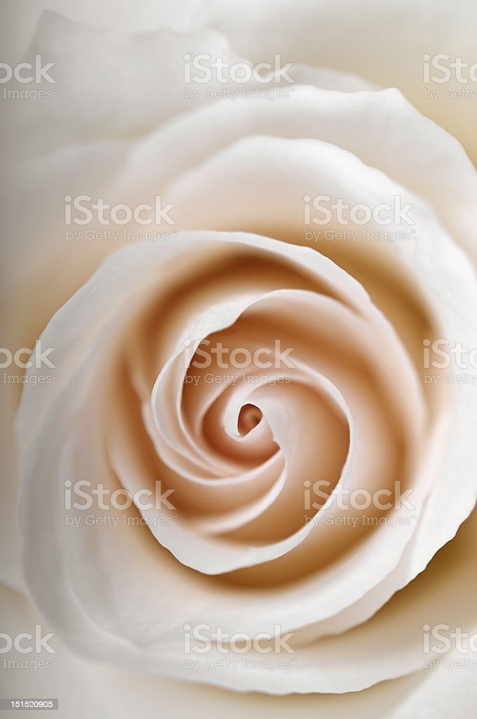 Closeup white rose stock photo