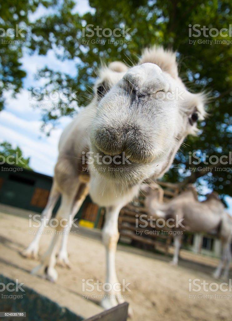 close-up wide-angle shot camel stock photo