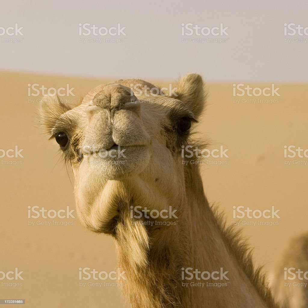 close-up wide-angle shot of  camel on a camelfarm royalty-free stock photo