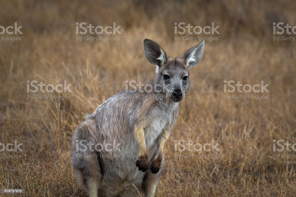 Close-up wildlife grey kangaroo selected focus stock photo