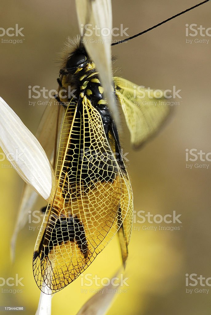 Closeup wing of Owl-fly on grass royalty-free stock photo