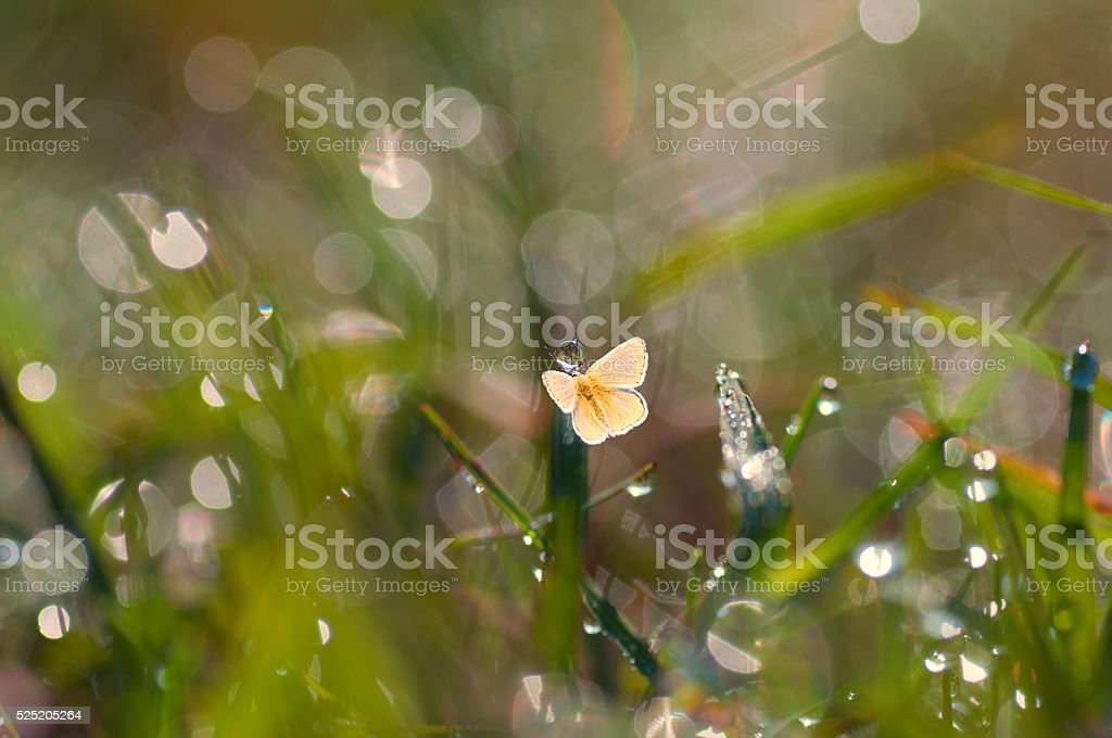 Closeup yellow butterfly on the grass with dew stock photo