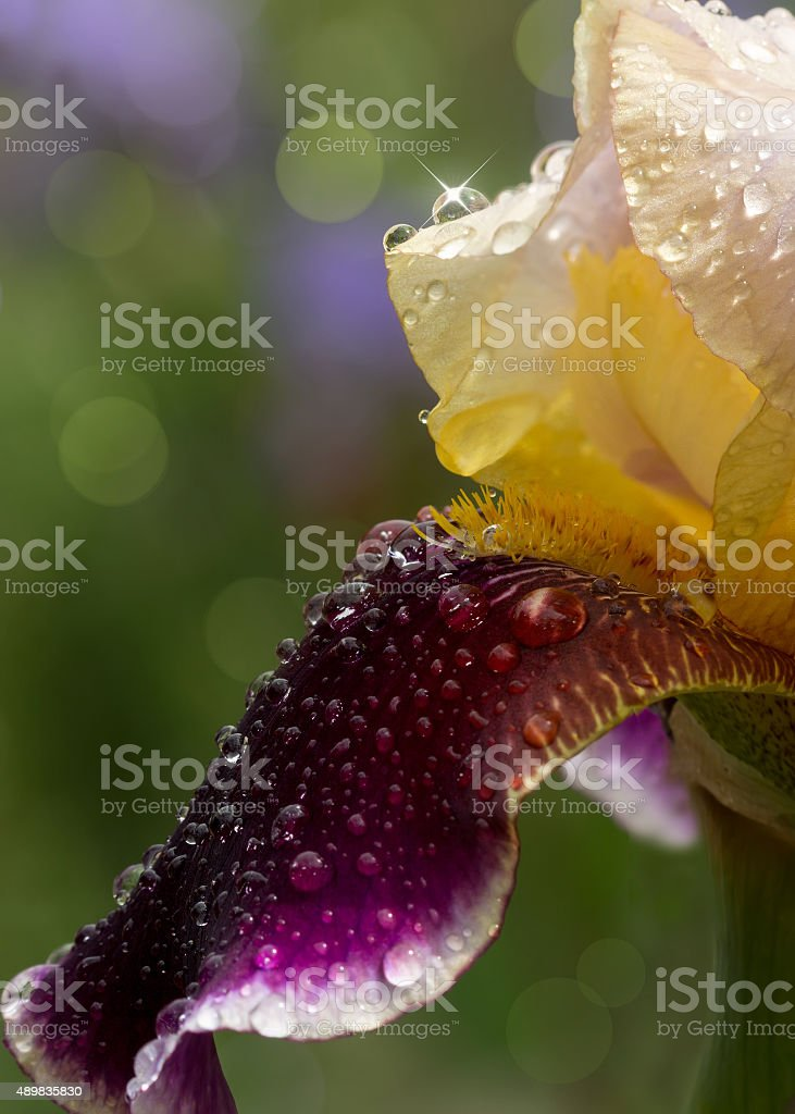 closeup yellow maroon iris with water drops after rain stock photo