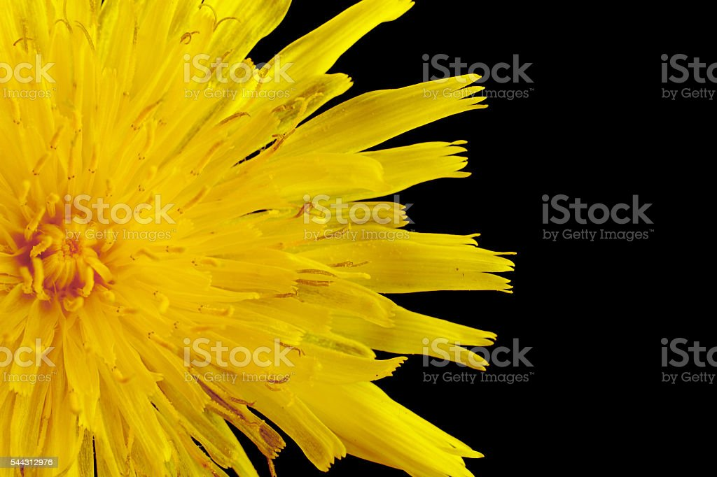 Closeup yellow poisonous wildflower on black as sonchus arvensis stock photo