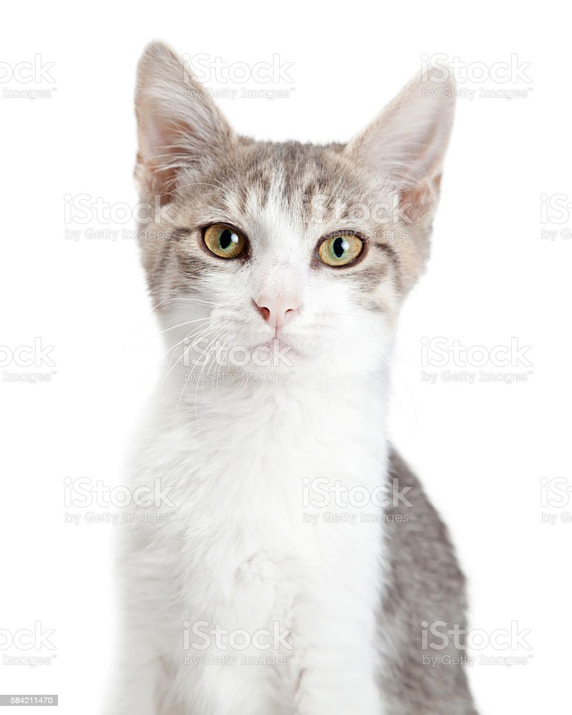 Closeup Young Attentive Gey Cat stock photo