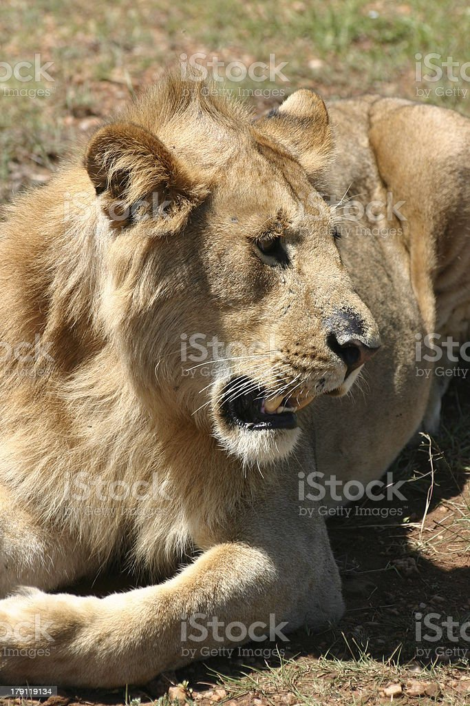 Close-up Young Male Lion rests in the Shadow, Kenya royalty-free stock photo