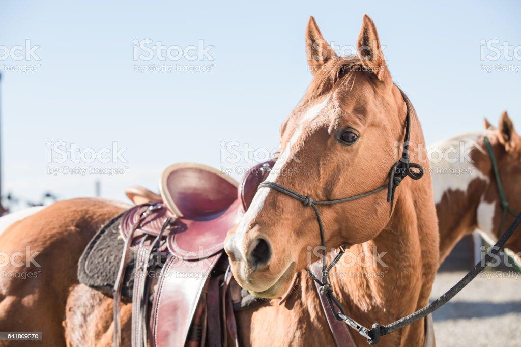 closeupSaddled Horse Wearing Halter stock photo