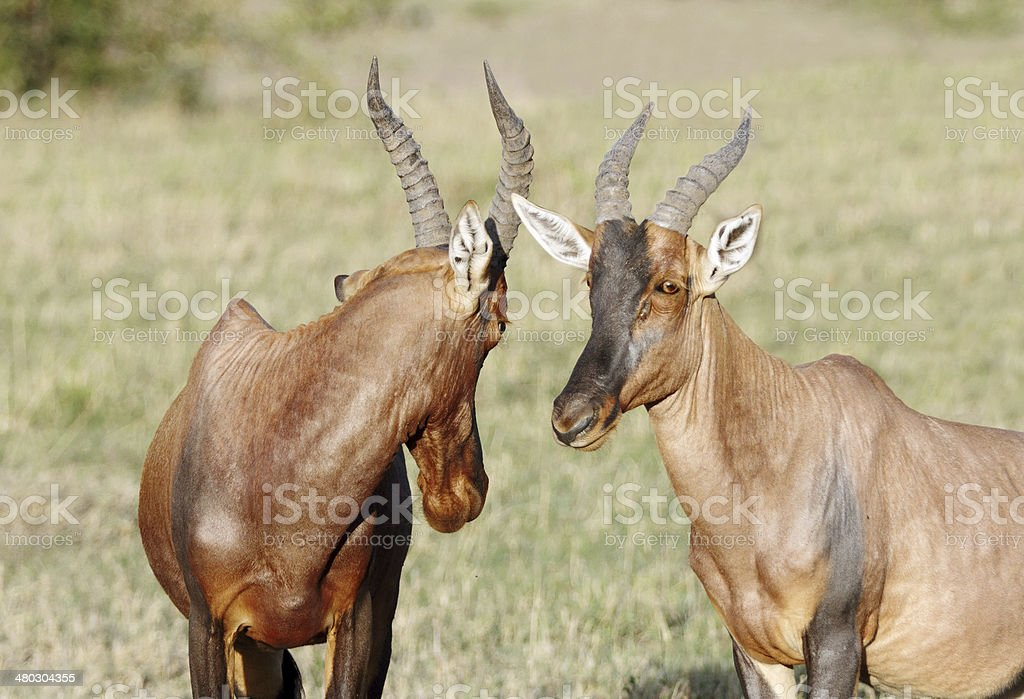 Closeview of two beautiful Topi antelopes in savannah stock photo