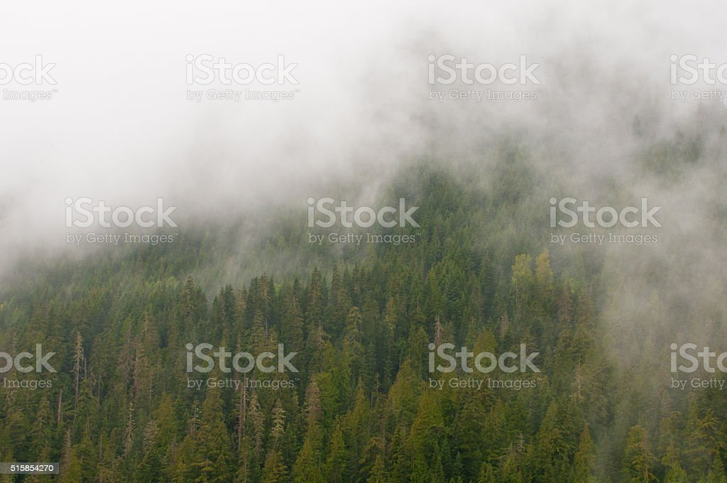 Cloud shrouded evergreen forest stock photo