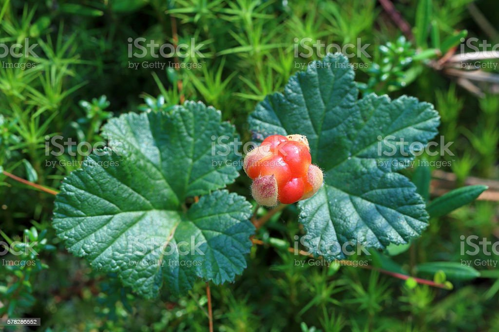 Cloudberries bush with berry on Yamal stock photo
