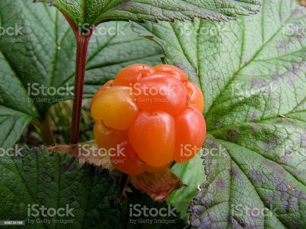 Cloudberry stock photo
