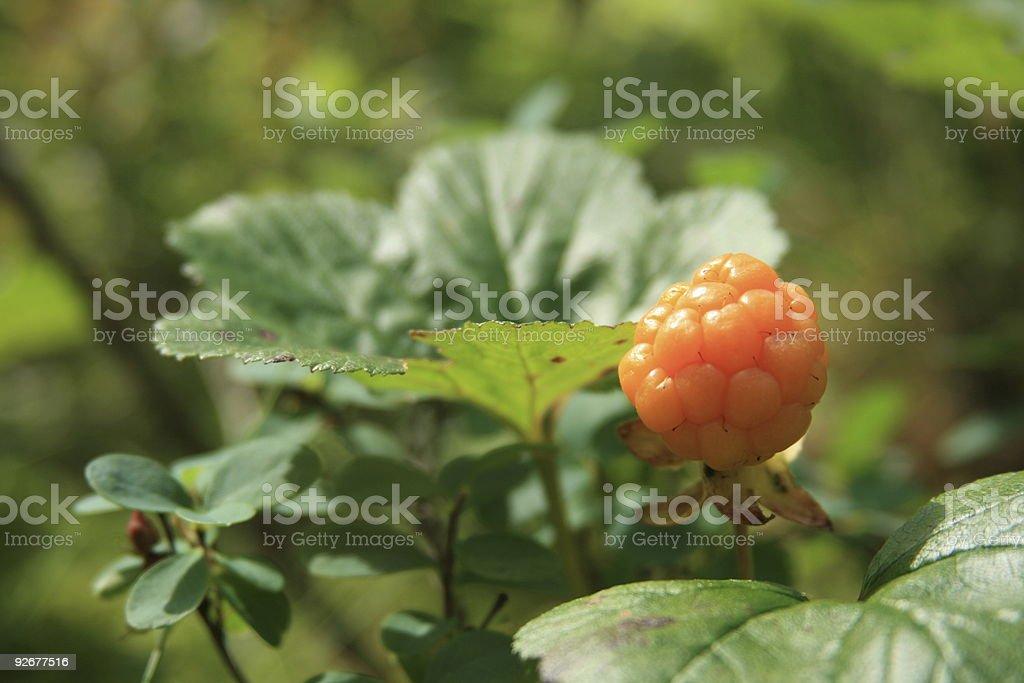 Cloudberry stock photo