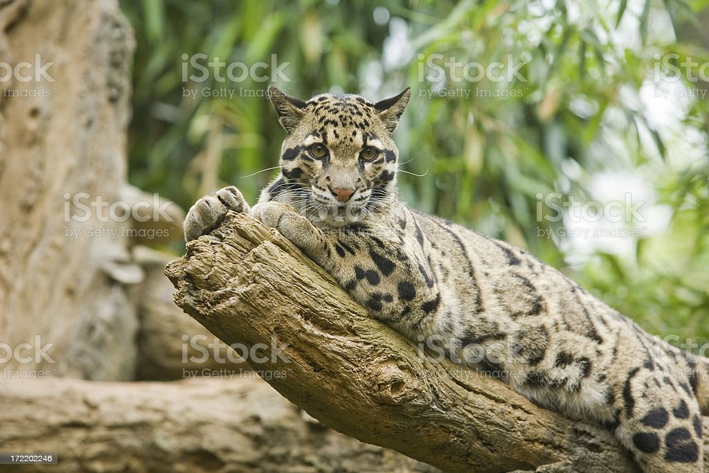 Clouded Leopard royalty-free stock photo