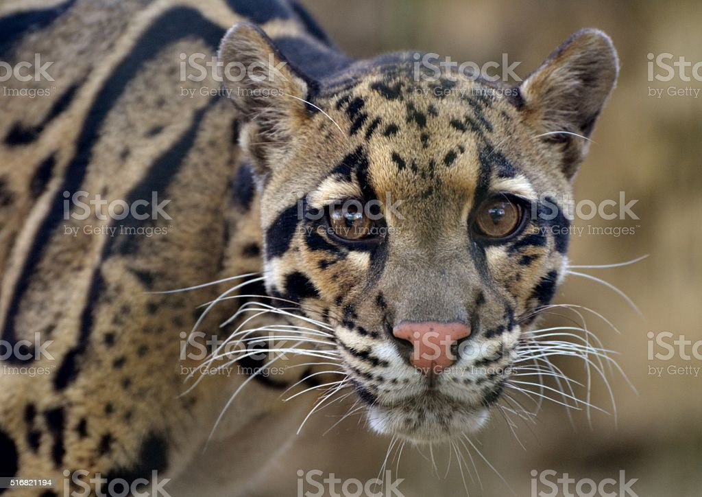 Clouded Leopard (Neofelis nebulosa) stock photo