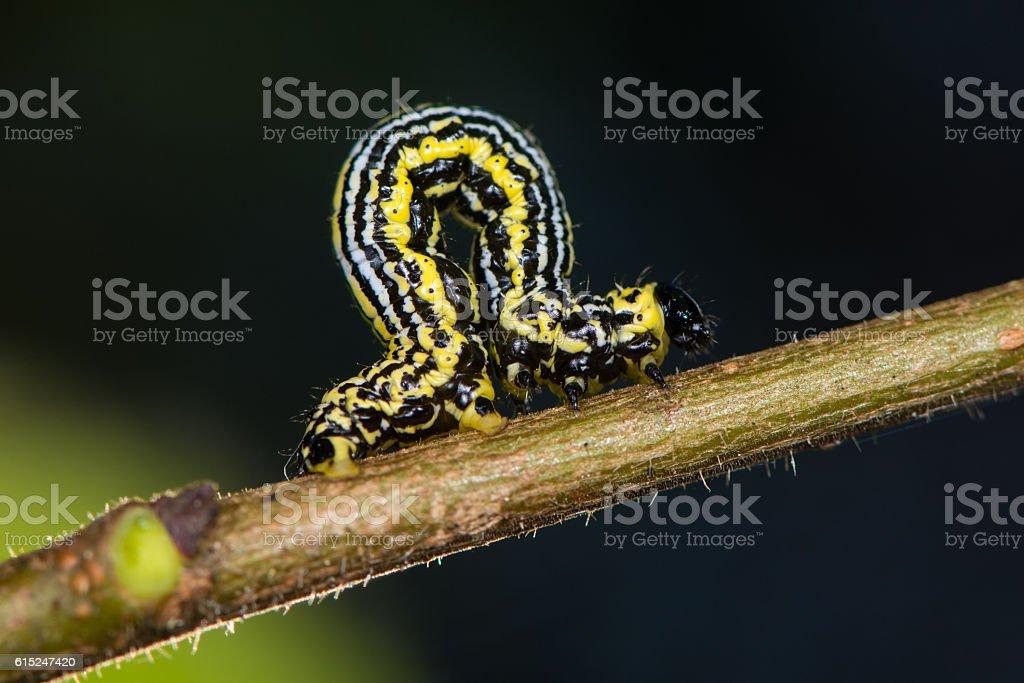 Clouded magpie moth (Abraxas sylvata) caterpillar stock photo