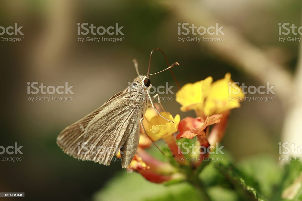 Clouded skipper butterfly sampling flower nectar stock photo