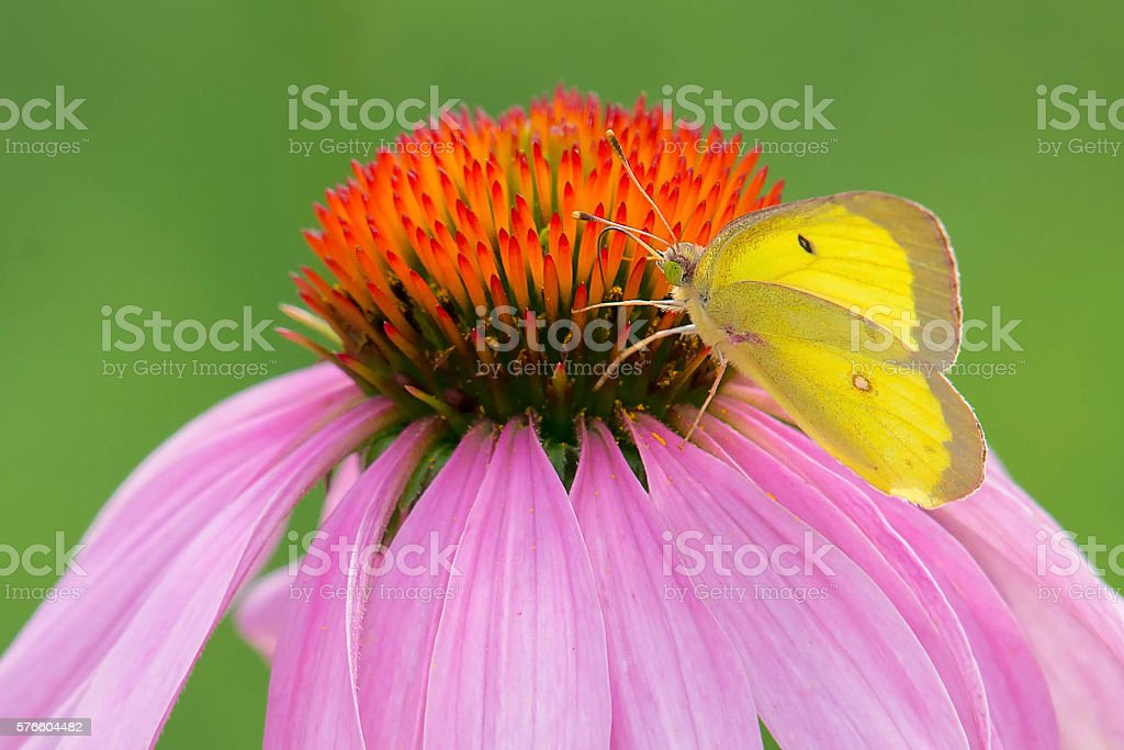 Clouded Sulphur Butterfly stock photo