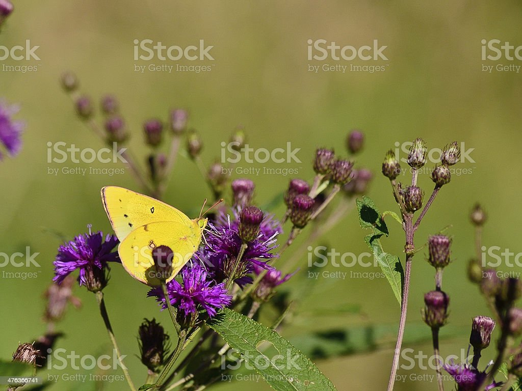 Clouded Sulphur, Colias philodice, Feeding On Ironweed stock photo