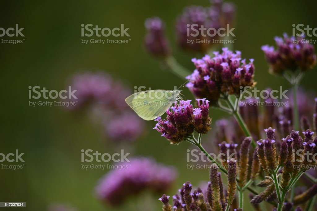Clouded White Butterfly, U.K. stock photo