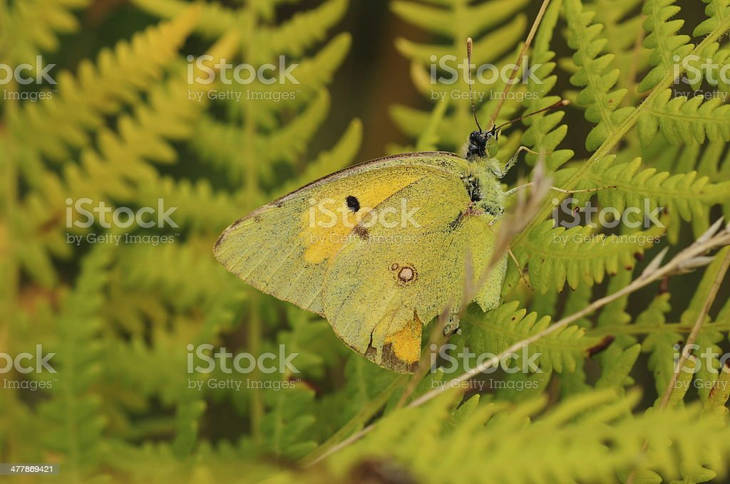Clouded Yellow Butterfly, U.K. royalty-free stock photo
