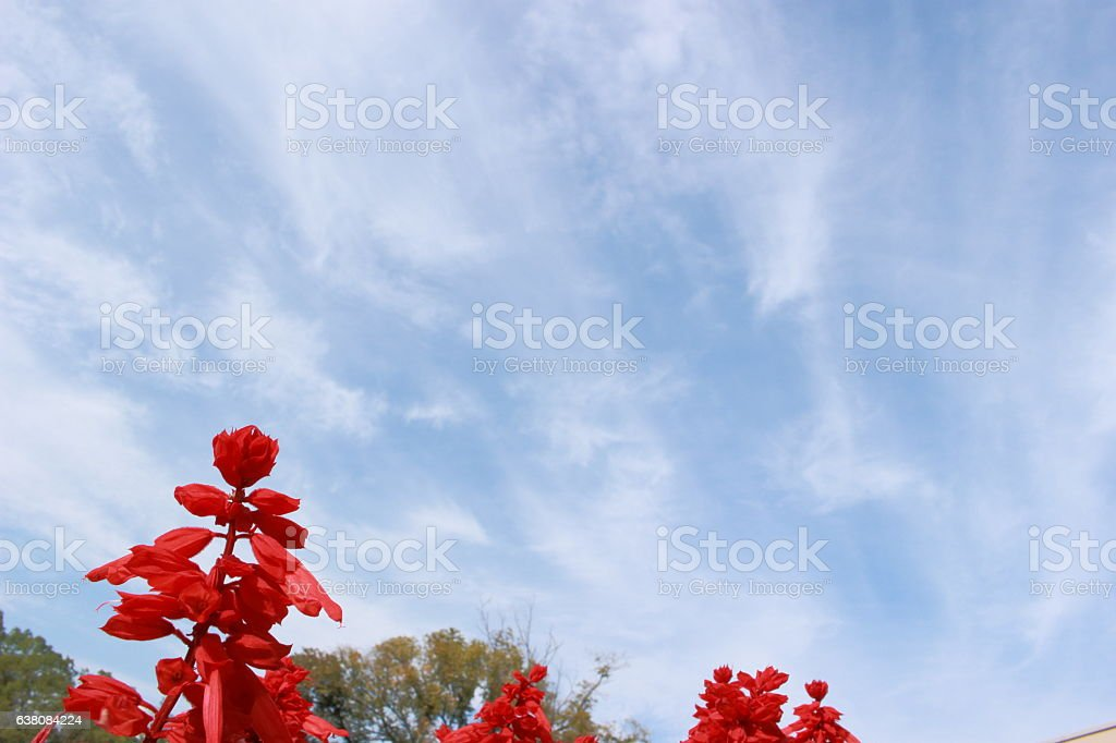 Clouds and blue sky and English name, Scarlet sage Part 3 stock photo