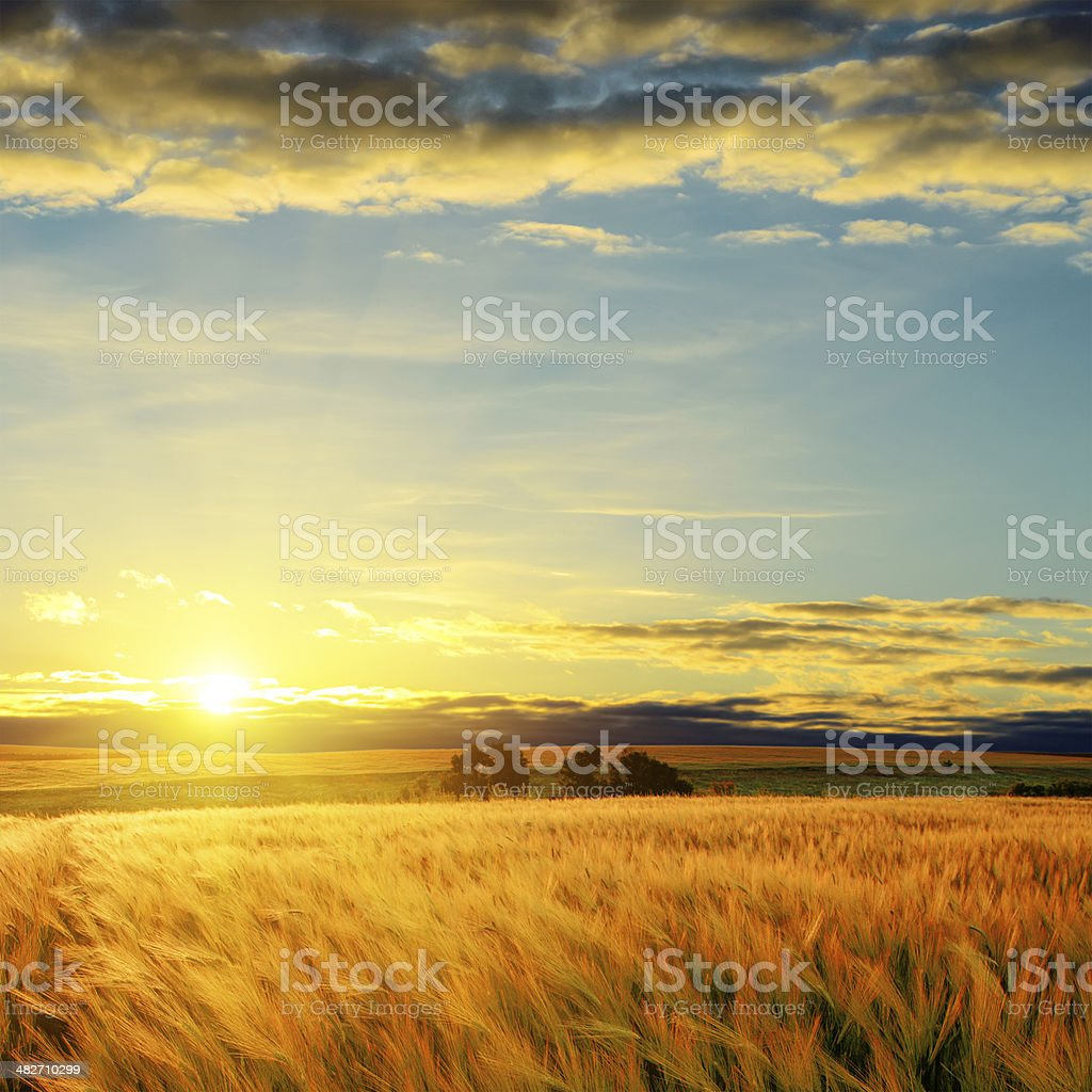 clouds on sunset over field with barley stock photo