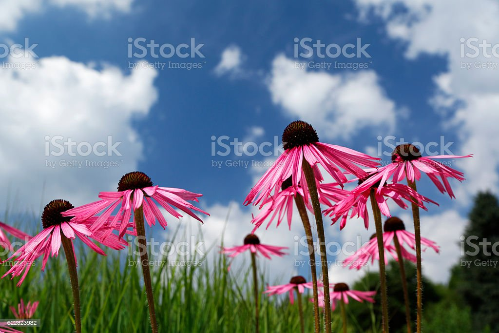 Wölkchenhimmel mit purpur Blüten. stock photo