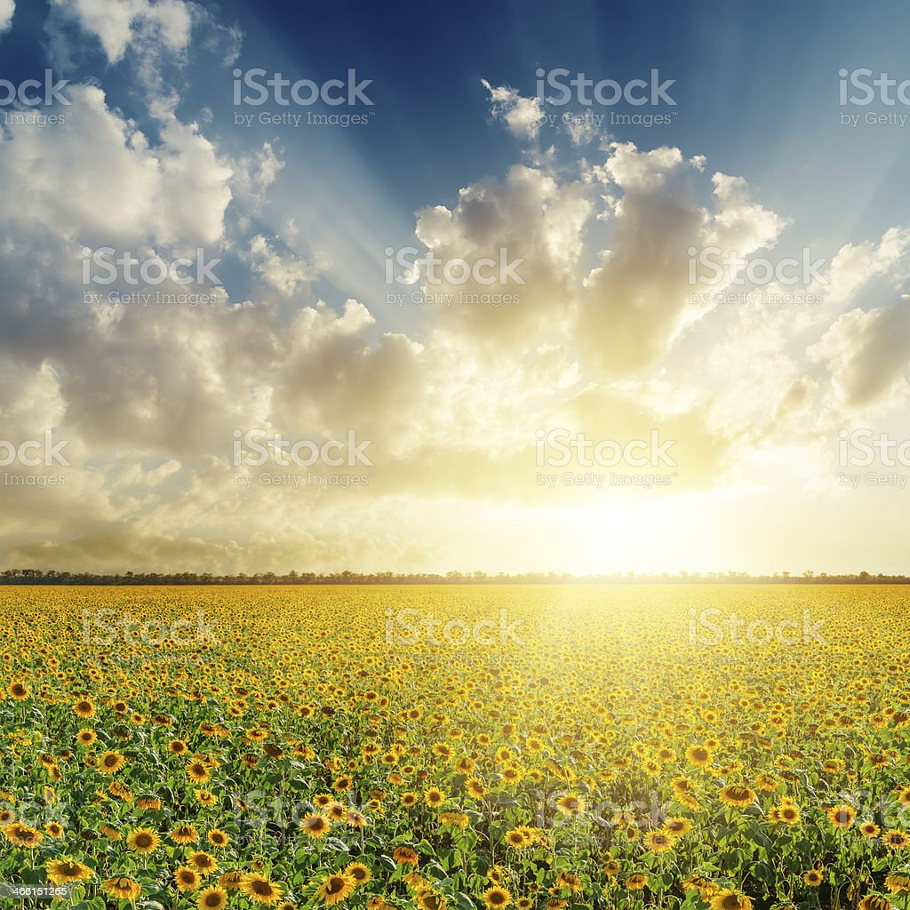 cloudy sunset over field with sunflowers stock photo