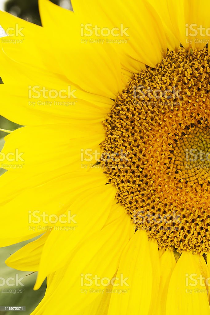 clouseup image of sunflovers stamens stock photo