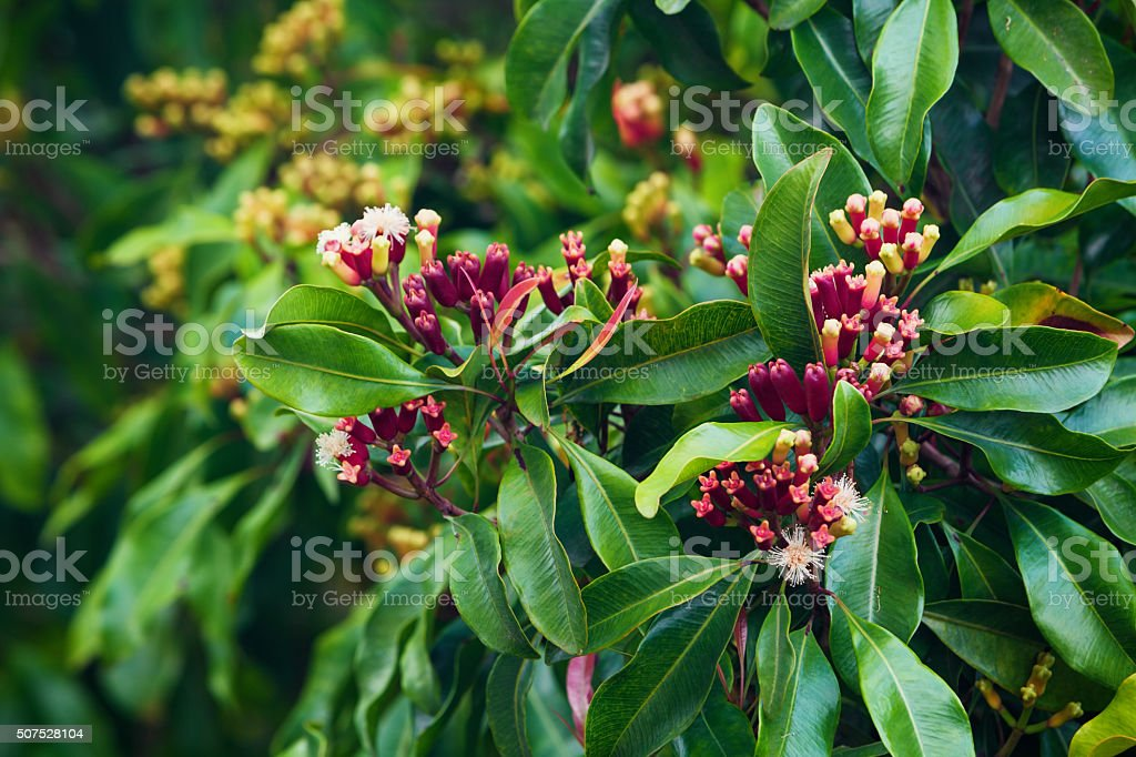 Clove tree with spicy raw flowers and sticks stock photo