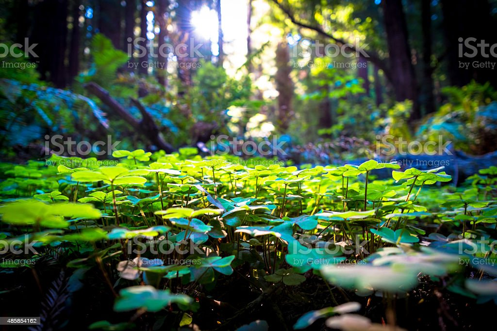 Clover amid redwoods stock photo