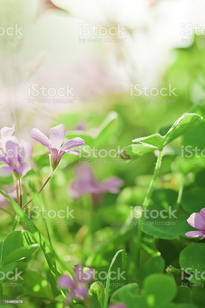 clover and flower in spring stock photo